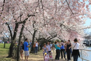 Tourists, cameras in hand, attempt to capture of the beauty of the cherry blossoms. (Photo by Andrea Kenner, Apr. 9, 2012)